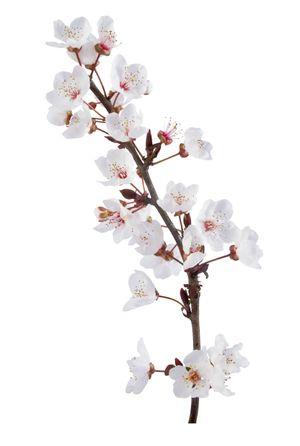cherry blossom japanese art. Cherry Blossom Festival
