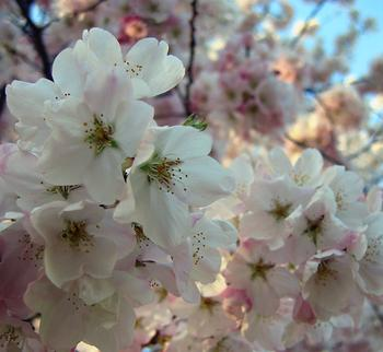images/blossom