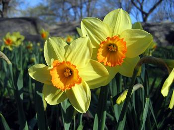 images/daffodils
