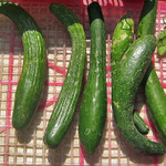 Japanese_seedless_cucumbersed